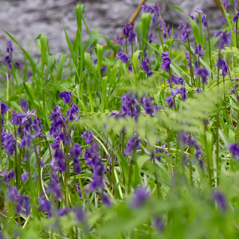 Knott Cottage self catering, Isle of Skye, garden, bluebells
