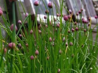 Knott Cottage self catering, Isle of Skye, garden, purple flowers