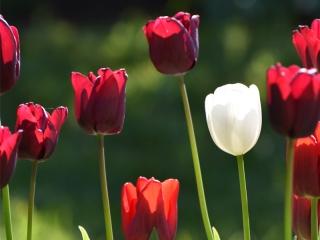 Knott Cottage self catering, Isle of Skye, garden, tulips