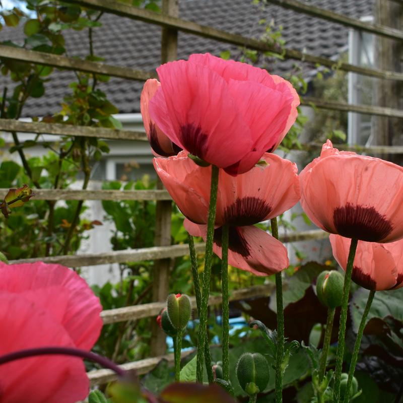 Knott Cottage self catering, Isle of Skye, garden, flowers